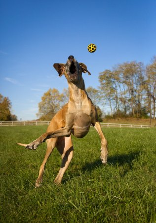 Silly great Dane trying to catch yellow ball in mi...