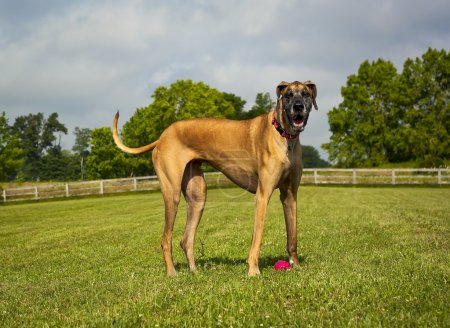 Photo pour Great Dane standing over red ball in green field looking at viewer, panting - image libre de droit