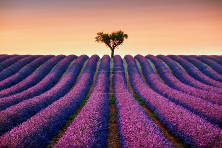 Photo for Lavender flowers blooming field and a lonely tree uphill on sunset. Valensole, Provence, France, Europe. - Royalty Free Image