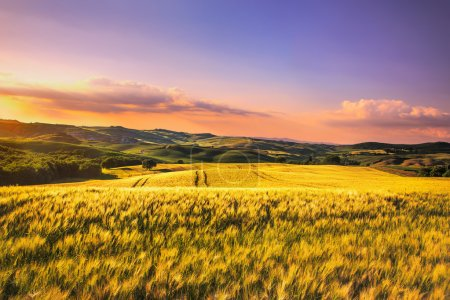 Tuscany spring, rolling hills and wheat on sunset