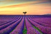 Lavender and lonely trees uphill on sunset. Provence, France