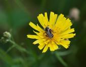 Bodnutí včela na žluté květině