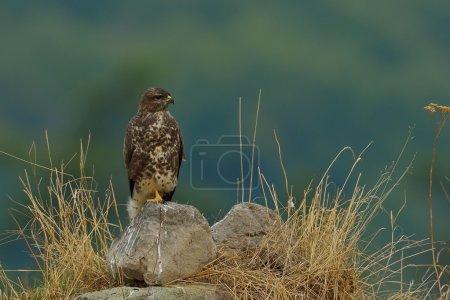 common buzzard outdoor (buteo buteo)