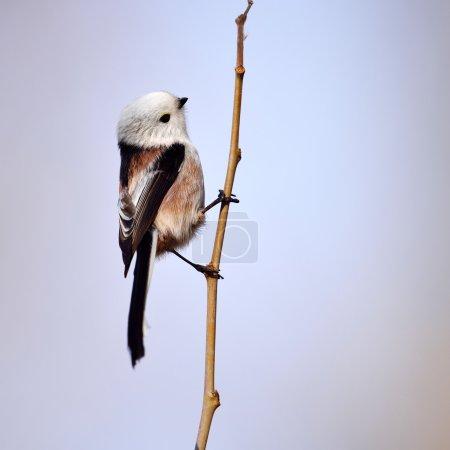 Photo for Long tailed tit in natural habitat (aegithalos caudatus) - Royalty Free Image