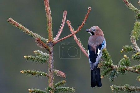 Photo for Jay in natural habitat  (Garrulus Glandarius) - Royalty Free Image