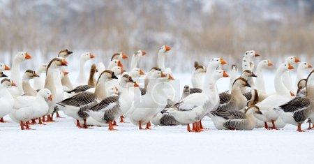 Photo pour Oies domestiques en plein air en hiver - image libre de droit