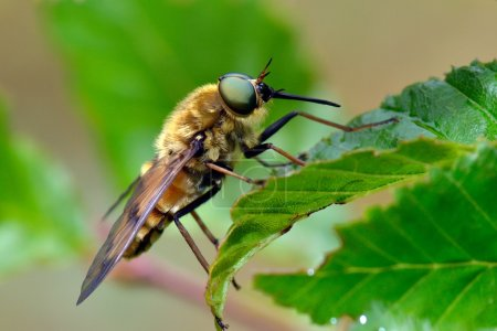 Pale giant horse-fly outdoor (tabanus bovinus)