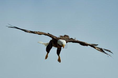 The Bald Eagle (Haliaeetus leucocephalus) flying