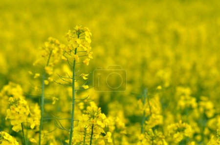 rapeseed field in spring