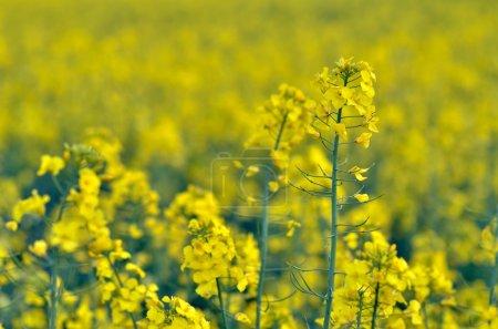 Photo pour Champ de colza en floraison au printemps - image libre de droit