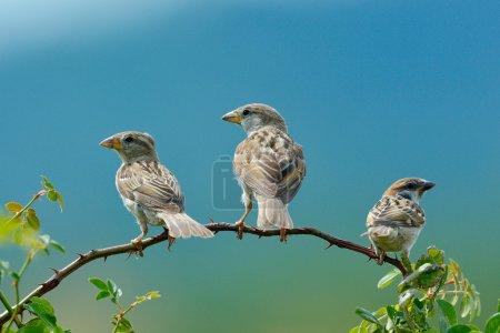 sparrows in natural habitat