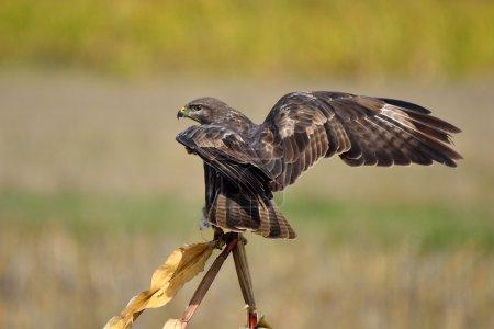 common buzzard on field (buteo buteo)