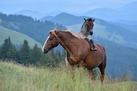 Mare and cute playful foal in summer mountain past...