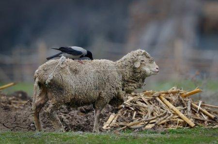 Grey and black crow - corvus frugilegus - pulling ...