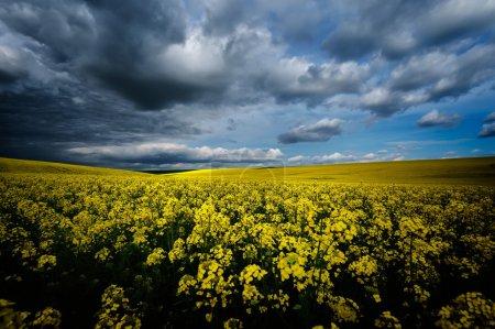 Photo pour Champ de colza en fleurs au printemps avec ciel nuageux - image libre de droit