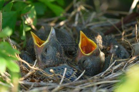 Thrush chicks in the nest