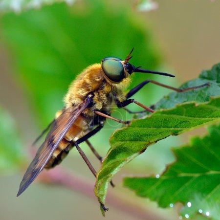 pale giant horse-fly (tabanus bovinus)