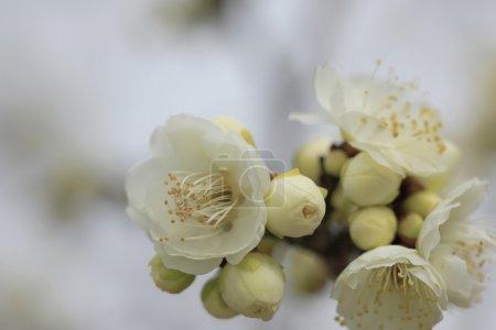 Beautiful plum flowers