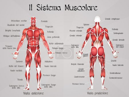 Photo for Illustration of the muscular system - Royalty Free Image