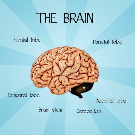 Photo pour Illustration du cerveau humain - image libre de droit