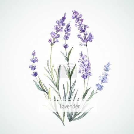Illustration for Watercolor vector illustration of Lavender - Royalty Free Image