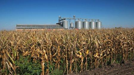 Corn Dryer Silos Standing in a Field of Corn