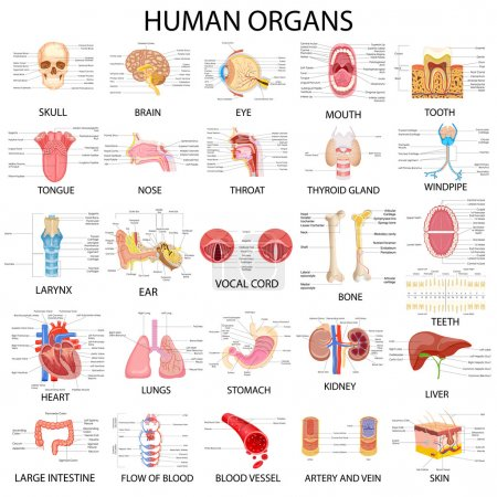 Chart of different Human Organs