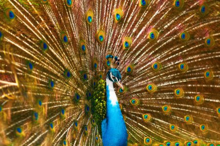 Birds Of Thailand. Peacock With Feathers Out. Animals. Travel, T