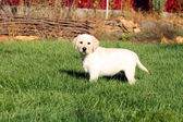 A nice little cute yellow labrador puppy in summer