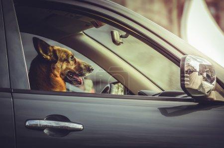 German shepherd at car steering wheel