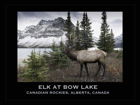 Elk near Bow Lake