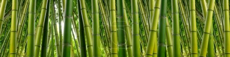 Photo for Tall stalks of green bamboo dense in a jungle setting. - Royalty Free Image