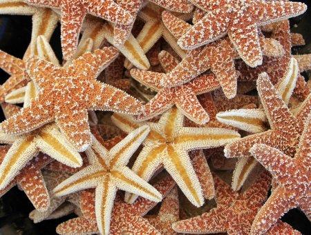 beautiful brown starfishes