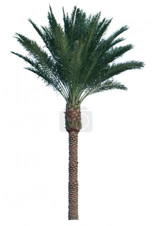 Coconut palm tree isolated on white background....