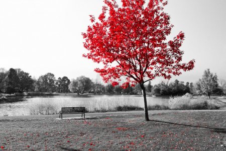 Photo for Empty park bench under red tree in black and white - Royalty Free Image