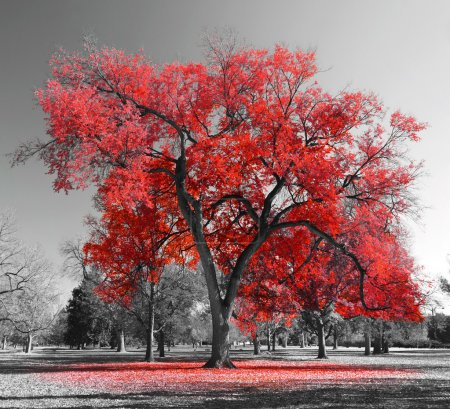 Photo pour Big red tree in a black and white landscape - image libre de droit