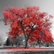 Big red tree in a black and white landscape...