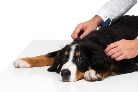Sad bernese mountain dog and veterinarian