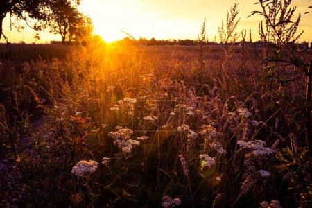 Photo pour Un beau paysage du matin d'été avec la dentelle de la reine Anne poussant dans la prairie. Paysage estival de l'Europe du Nord. - image libre de droit