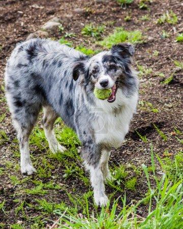 Australian Shepherd dog with white and gray markings