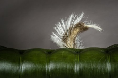 Skunks Tail