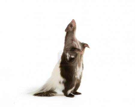 Skunk standing up