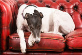 White Greyhound on a red sofa