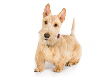 Wheaten Scottish Terrier