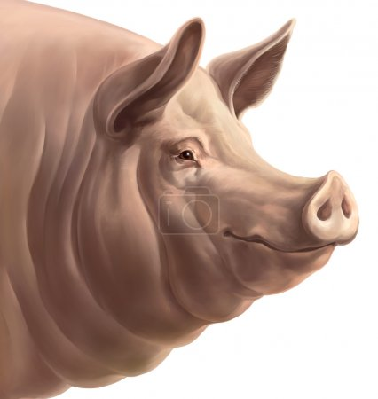 Realistic head of pig
