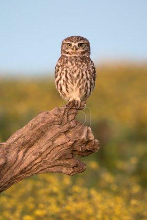 Photo pour Petite chouette sur un tronc d'arbre dans la nature - image libre de droit