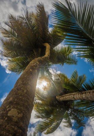 coconut palms over blue sky