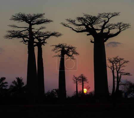 Photo pour Coucher de soleil sur l'allée des baobabs, madagascar - image libre de droit
