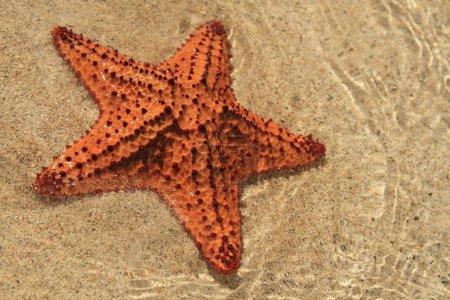 Starfish on a beach, Caribbean sea
