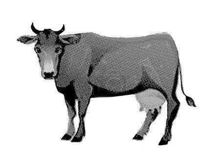 Kuh auf weißem Hintergrund gravieren